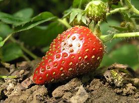 erdbeeren-min.jpg