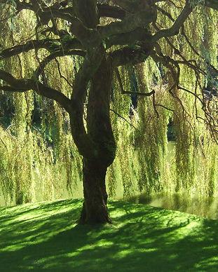 Willow-01.jpg