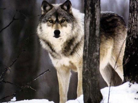 Les deux loups - sagesse amérindienne