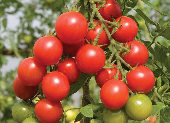 Sakura Cherry Tomato