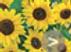Sunflower Carmel