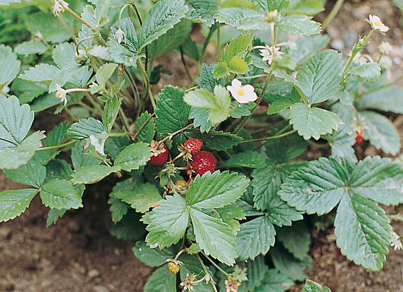 Alexandria Strawberry