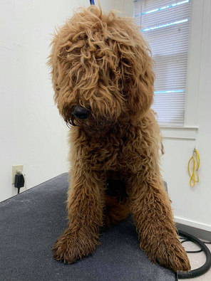 The pandemic meant Butterscotch didn't get his first professional grooming until he was quite shaggy!