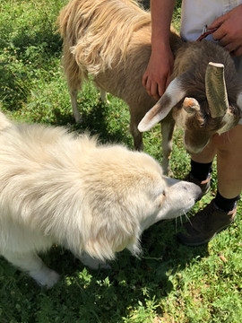 The goats and Drifter evidently enjoy each other's company.