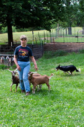 Gem doing a fantastic job herding the goats!