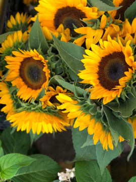 Russian immigrants to the U.S. brought with them highly developed sunflower seeds that grew bigger blooms, sparking a renewed interest in the native American plant.