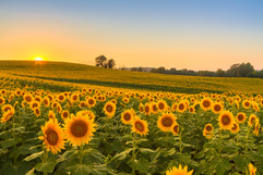 Sunflowers grow best with 6 to 8 hours of sun a day and with that can grow to be as tall as 16 feet!