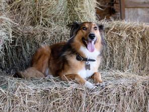 Such a beautiful & intelligent dog, Tassie.