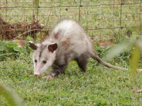 Playing Possum (written 1-30-21)