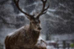 Stier Winter.webp