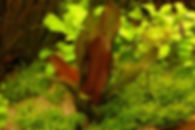 Echinodurus-kleiner-bär-001.jpg