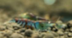 Erik Lucas oebt_edited.jpg (Orange-eyed  Blue Tiger)