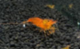 EUFI3276_edited.jpg (Orange Caridina)