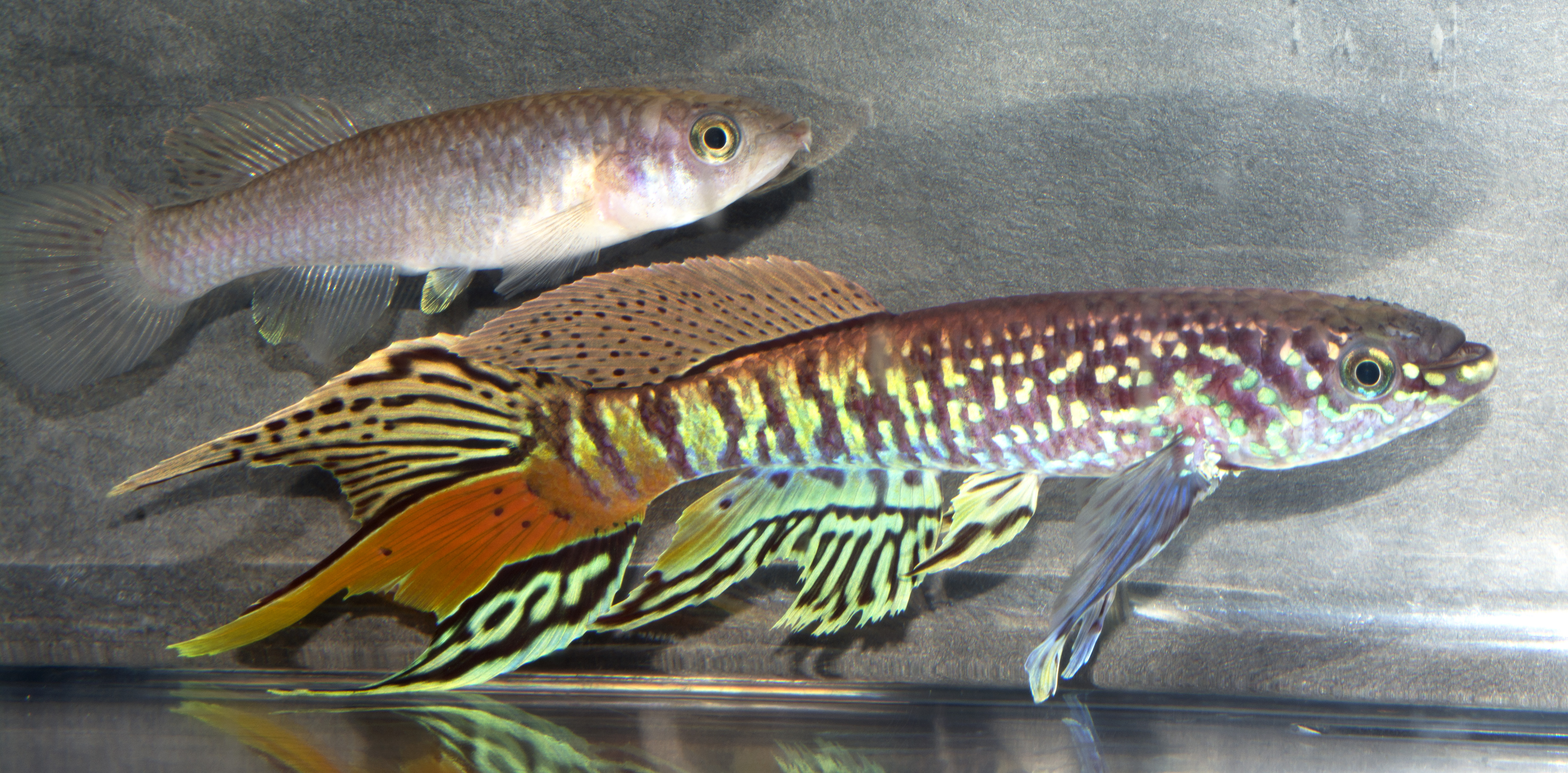 Blue gularis pair.jpg