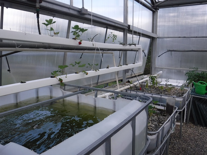 IBC aquaponics system growing mostly strawberries (Fragaria sp.) and largemouth bass (Micropterus sa