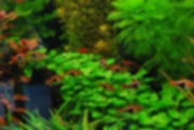 Lobelia-cardinalis-Mini.jpg
