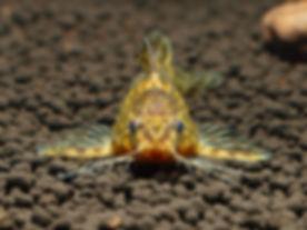 Mochokiella paynei of Africa