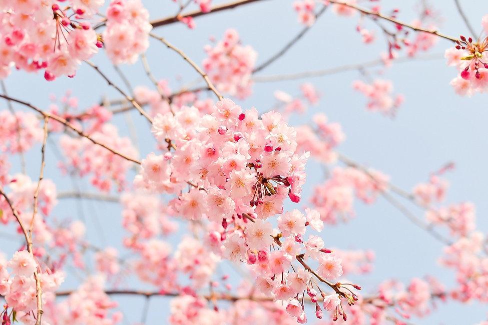 cherry-blossom-tree-1225186_1920.jpg