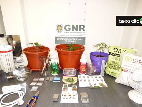Seia: Homem de 24 anos apanhado com 337 doses de haxixe e 3 plantas de canábis