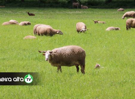Município de Gouveia tem abertas candidaturas de apoio à produção de ovinos e caprinos