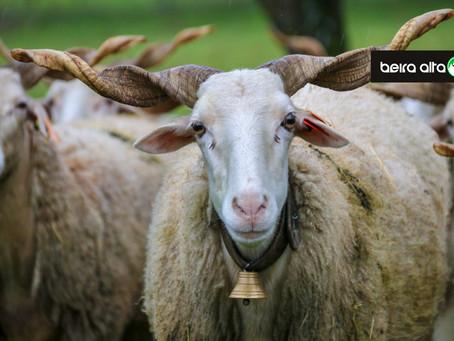 Município de Gouveia tem abertas candidaturas de apoio à produção de ovinos e caprinos do concelho