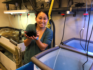 loading red urchins into experiment tanks