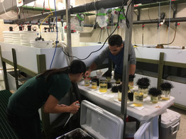 collecting red urchin gametes with Terence Leach