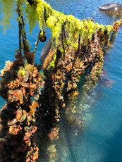 Greenshell mussels farmed in Marlborough Sounds