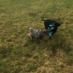 These pair play so nicely together! They found someone's frisbee on the field and are making full us