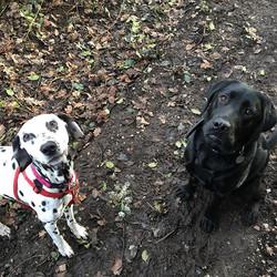 Indie & Milo ❤️🐾 #dalmation #labradorretriever #petcarepluspack