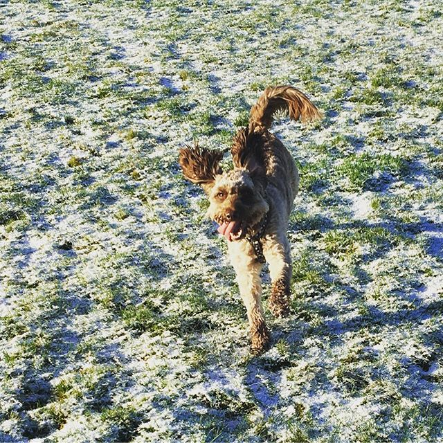 Fun fun fun! Oscar loving the snow this morning! #cockerpoo #cockerpoosofinstagram #petcarepluspack