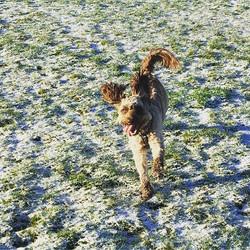 Fun fun fun! Oscar loving the snow this morning! #cockerpoo #cockerpoosofinstagram #petcarepluspack