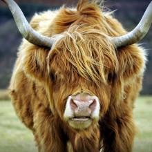 r18-highland-cow-1-220x220