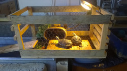 Two out of the four turtles basking