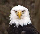 Male bald eagle a North American bird of