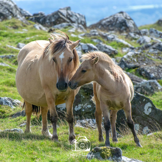 2. Horse and Foal, Devon
