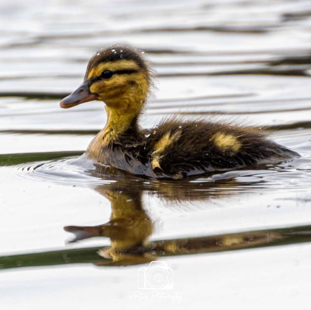 1. Duckling