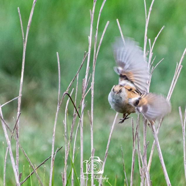 Oare Marshes Female Bearded Tit In Flight