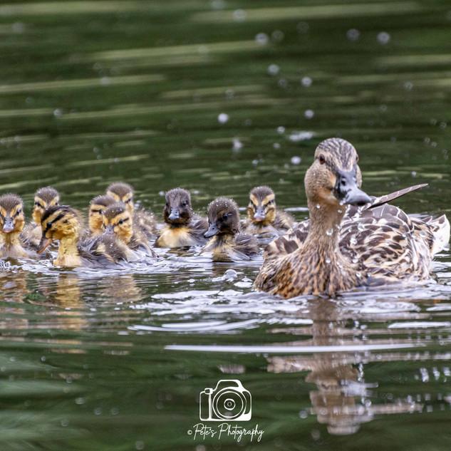 1. Mallard with her duckilngs