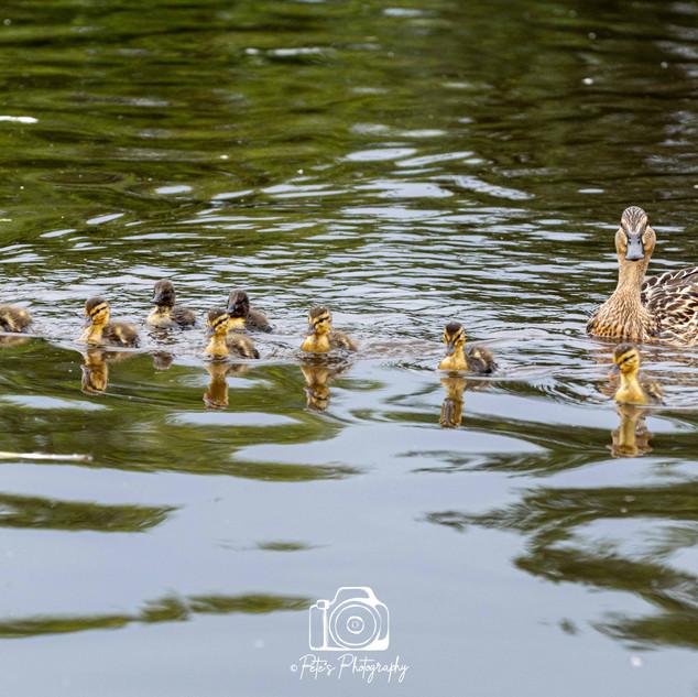 2. Mallard with her duckilngs