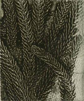 Jacky Lowry  - Norfolk Pine I