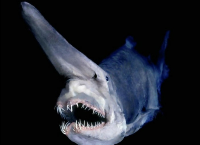 Swimming in the ocean is not an exciting sport based on the fact that many things are happening in the sea. Even though Goblin Shark might not be the dangerous sharks out there, it is the most frightening one.