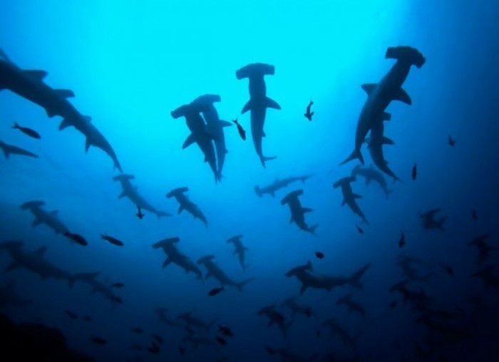 Can you imagine being surrounded by multiple hammerhead sharks! In this case, I will have to disappear within a few seconds. Swimming in the ocean is scary and dangerous.