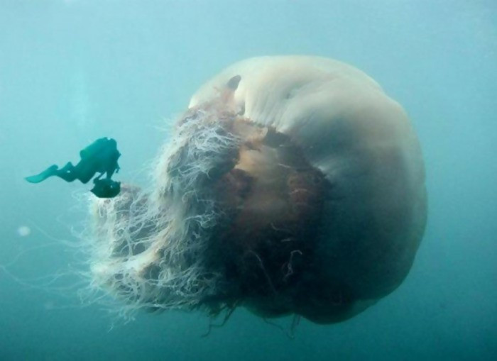 We have some individuals out there who are scared of small jellyfish. Imagine how shocking it will be seeing a giant jellyfish at the ocean. It will be a nightmare. Hence, it is crucial that you avoid swimming in the sea.