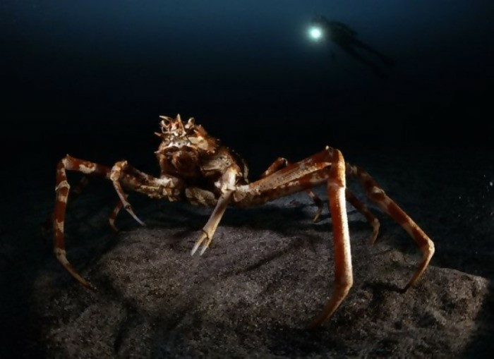 Crabs are only edible when they are on the plate. However, what if you come across this giant crab while swimming in the ocean? Is it not shocking? Avoid ocean swimming because it is hazardous.