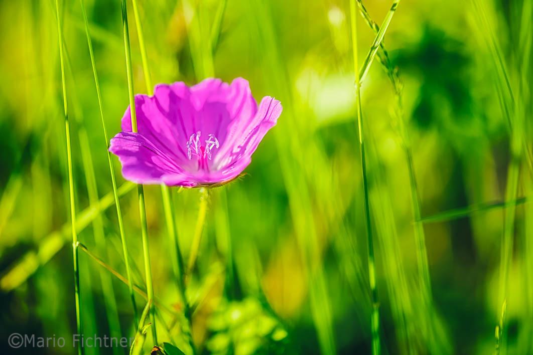 Flowers 657216