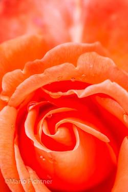Flowers 254618