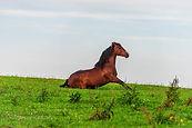 Pferd sitzt auf der Koppel 542019.JPG