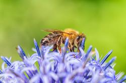biene-insekt-blume-nektar-4391.jpg