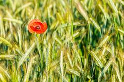 Cornfield blossom 312320